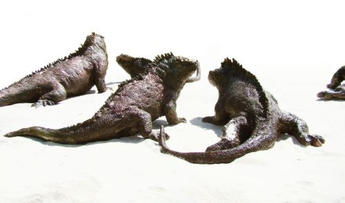 Iguanes au soleil